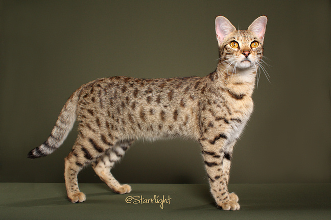Ti Amo Savannah Cats - Queens